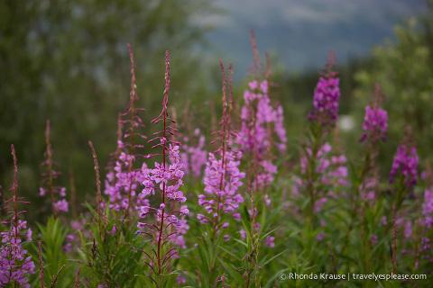 travelyesplease.com | Photo of the Week: Fireweed in Alaska