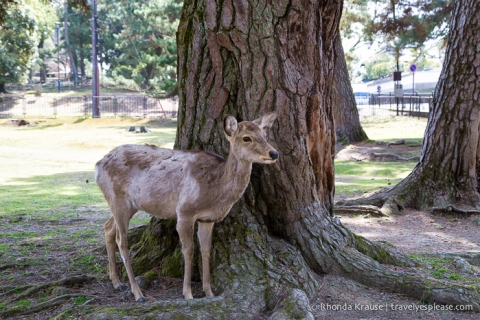 travelyesplease.com | Feeding Deer in Nara Park