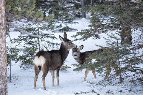 travelyesplease.com | Photo of the Week: Mule Deer in Jasper National Park