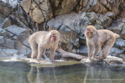 travelyesplease.com | Jigokudani Monkey Park- See Hot Spring Loving, Wild Snow Monkeys