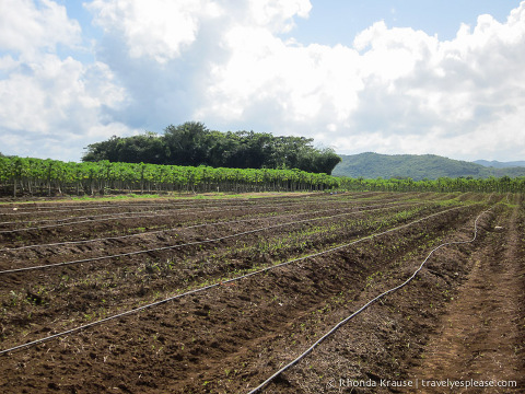 travelyesplease.com | Visit to a Working Farm in Jamaica- Photo Essay