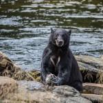 Bear Watching at Neets Bay, Alaska