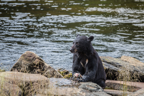 travelyesplease.com | Neets Bay Bear Viewing