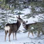 Photo of the Week: Mule Deer in Jasper National Park