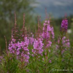 Photo of the Week: Fireweed in Alaska
