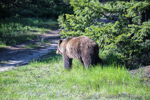 travelyesplease.com | Wildlife in Jasper National Park- Photos and Tips for Viewing Jasper Wildlife