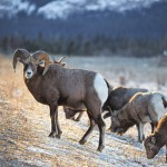 Wildlife in Jasper National Park