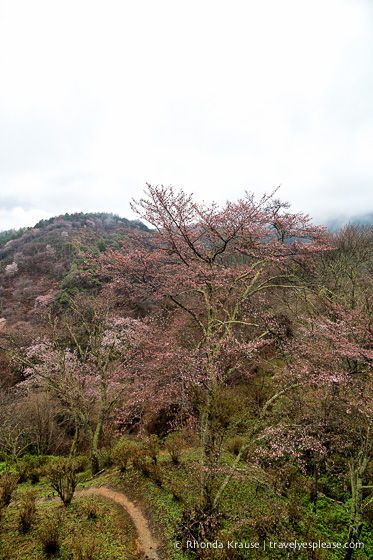 travelyesplease.com | Yoshino- Cherry Blossoms and a Whole Lot More!