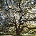 Photo of the Week: Majestic Oak- Savannah, Georgia