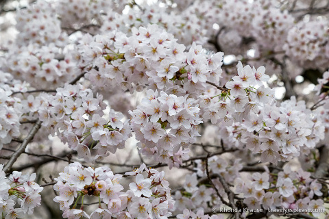 travelyesplease.com | Kyoto Cherry Blossom Guide- 6 Pretty Places to See Cherry Blossoms in Kyoto