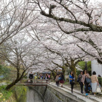 The Path of Philosophy- Kyoto's Prettiest Cherry Blossom Walk