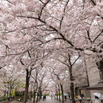 Cherry Blossom Viewing Spots in Kyoto- Our 6 Favourite Locations