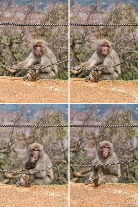 travelyesplease.com | Visiting Iwatayama Monkey Park in Kyoto