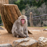 Visiting Iwatayama Monkey Park in Kyoto