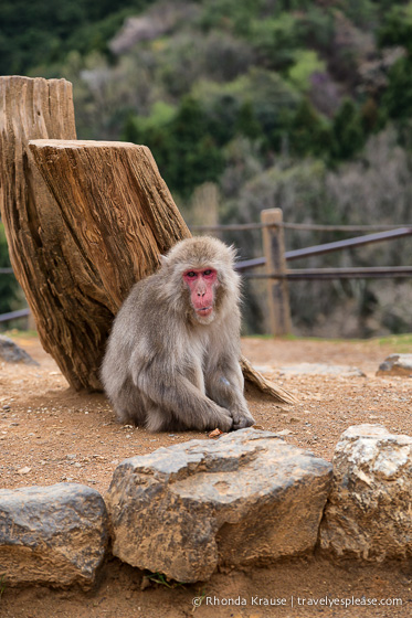 travelyesplease.com | Visiting Iwatayama Monkey Park in Kyoto