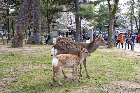 travelyesplease.com | Exploring Nara Park- Temples, Shrines and Deer!