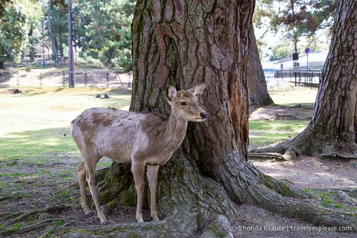 travelyesplease.com   Feeding Deer in Nara Park