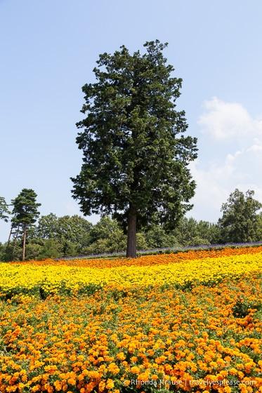 travelyesplease.com | Visiting Tottori Hanakairo Flower Park- One of Japan