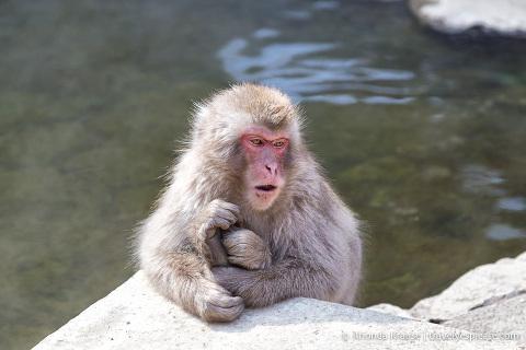 travelyesplease.com | Jigokudani Snow Monkey Park- Trip from Nagano to See Wild Snow Monkeys