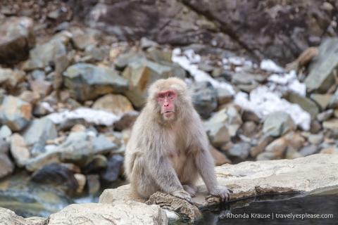 travelyesplease.com | Jigokudani Monkey Park- See Hot Spring Loving, Wild Snow Monkeys