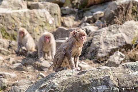 travelyesplease.com | Jigokudani Monkey Park- See Hot Spring Loving, Wild Snow Monkeys Near Nagao