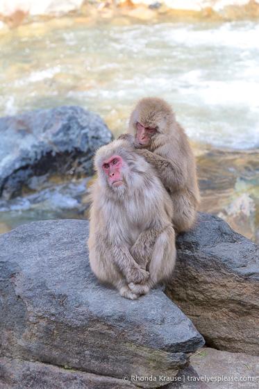 travelyesplease.com | Jigokudani Monkey Park- Trip from Nagano to see Wild Snow Monkeys