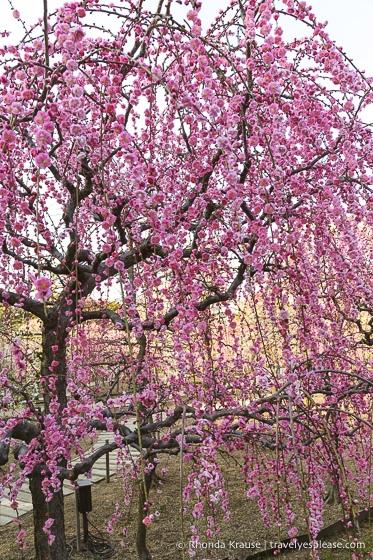travelyesplease.com | Visiting the Nabana no Sato Flower Garden and Winter Illumination