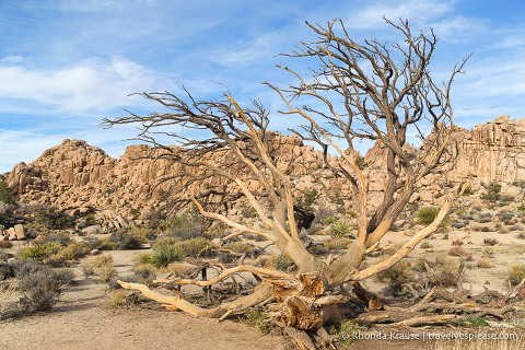 travelyesplease.com | Joshua Tree National Park- One Day Itinerary for Active Travellers