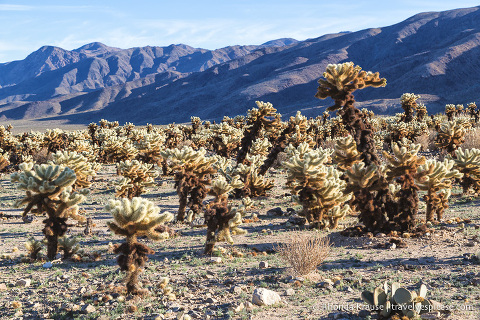 travelyesplease.com | How to Spend One Day in Joshua Tree National Park- Hikes, Nature Walks and Scenic Spots