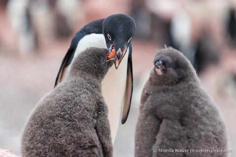 Penguin feeding chicks, seen during an Antarctica cruise