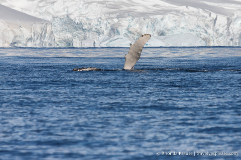 Humpback showing its pectoral fin during an Antarctica cruise