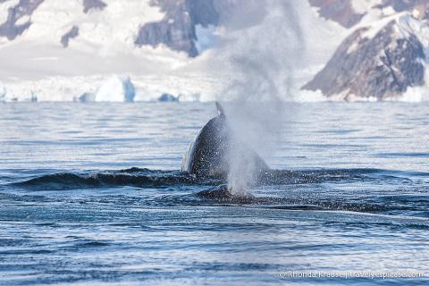 Whale watching during a cruise to Antarctica
