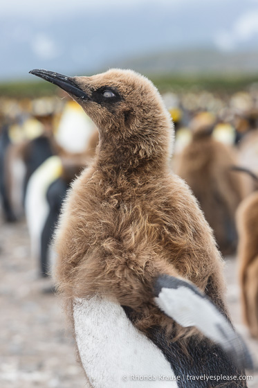 Moulting king penguin in South Georgia