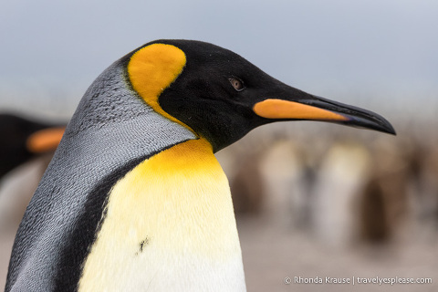 Close-up of a king penguin in South Georgia