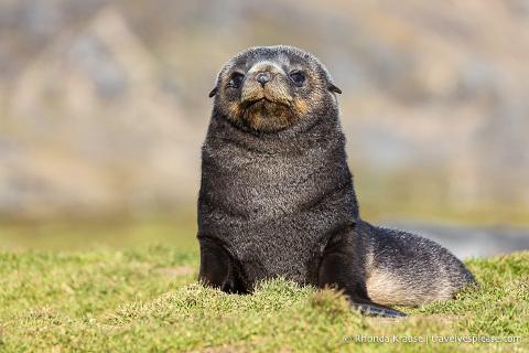 Fur seal pup in South Georgia
