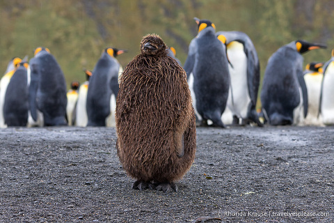 King penguin chick in the rain
