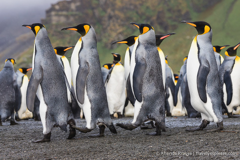 King penguins walking in a line in South Georgia