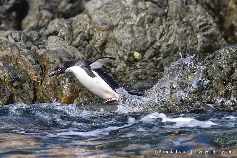 Adelie penguin jumping into water in Antarctica