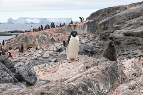 Adelie penguin colony visited on a cruise to Antarctica