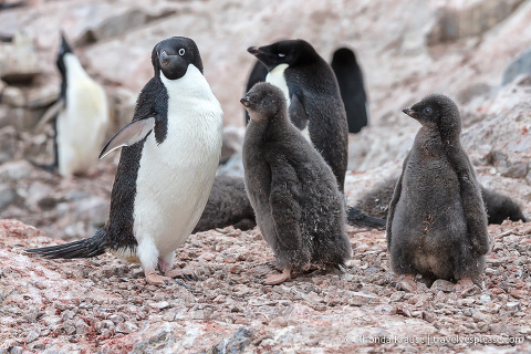 Adelie penguin and chicks in Antarctica