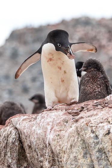 Adelie penguin bringing rocks to its nest