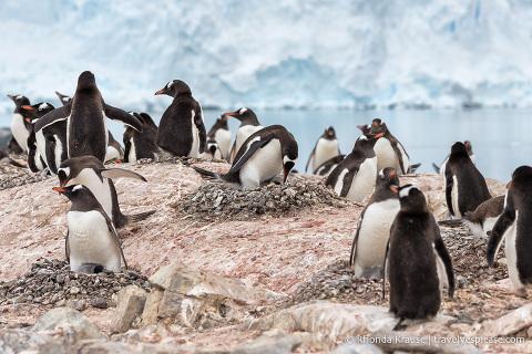 Nesting gentoo penguins in Antarctica