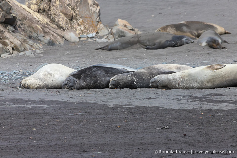 Seals sleeping in a row on a beach in Antarctica