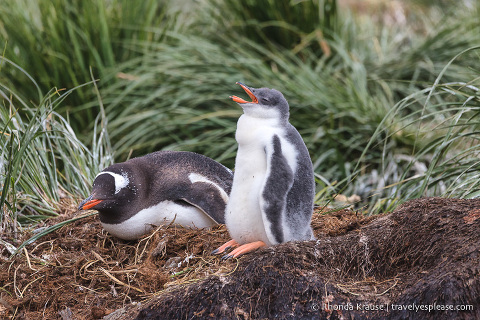 Gentoo chick in South Georgia