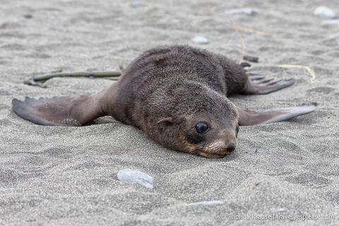 Resting fur seal pup