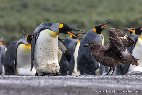 Skua and king penguins in Antarctica