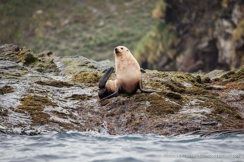 Blonde fur seal
