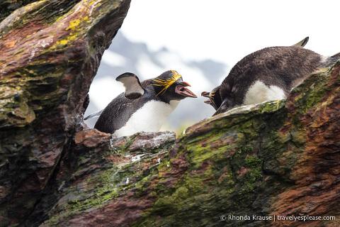 Macaroni penguins showing aggression