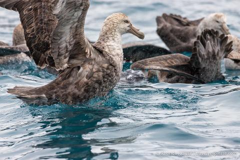 Wildlife of Antarctica- Petrels