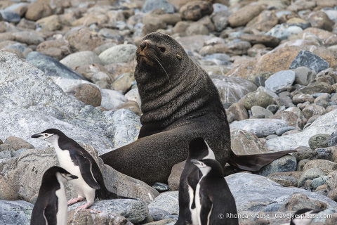 Wildlife of Antarctica- Fur seal and chinstrap penguins